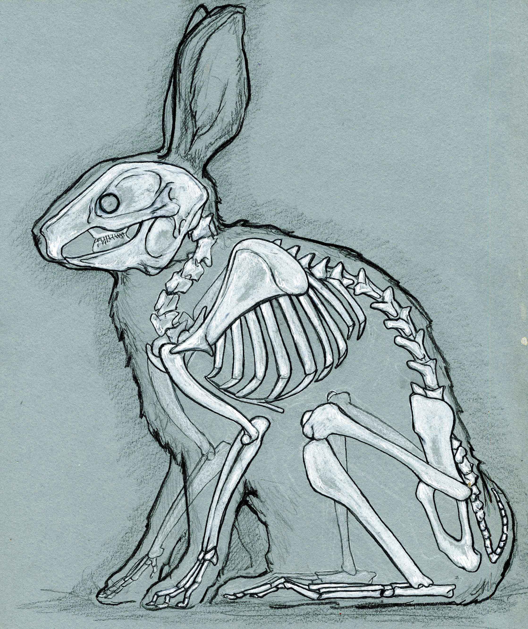 Rabbit Heart Diagram 98 Civic Fuse Box Skeleton Of A Bunny Life In Death