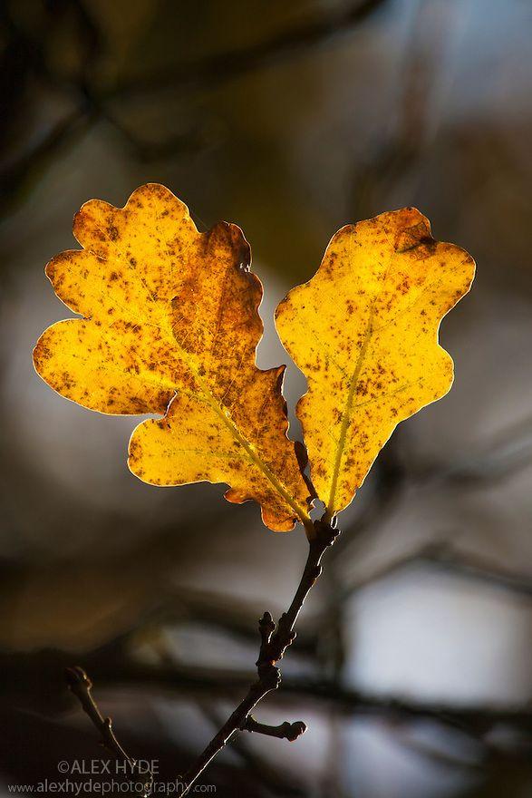 English Oak Leaves In Autumn Derbyshire November