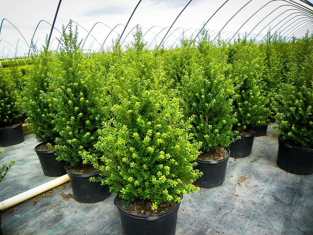 Ilex Crenata Golden Gem steeds upright japanese holly | evergreen trees landscaping
