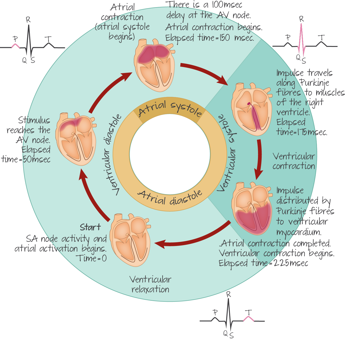 Cardiac Conduction And The Heart Cycle To Explain The