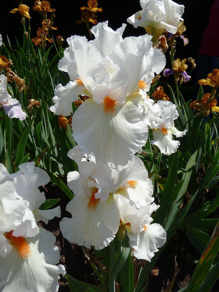 iris fleurs blanches jardin d 39 iris dans le parc de bagatelle bois de boulogne paris 16e 75. Black Bedroom Furniture Sets. Home Design Ideas