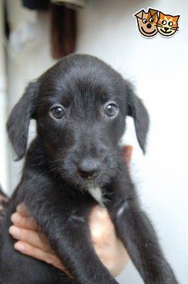 Bedlington Whippet X Greyhound Pup For Sale Bedlington Whippet