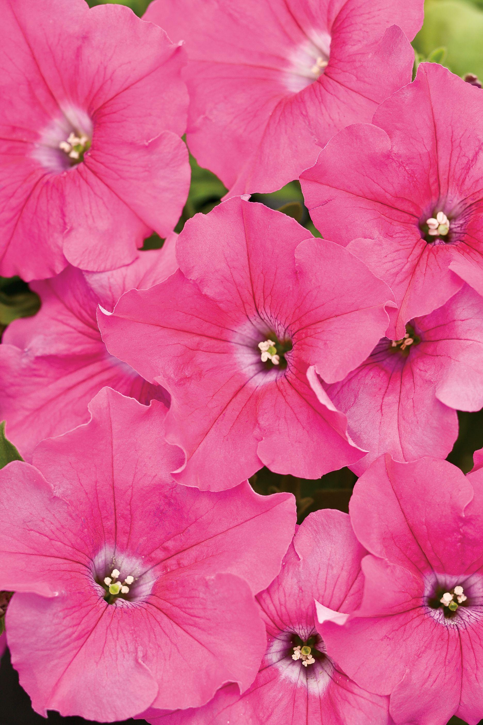 Supertunia Giant Pink Petunia Hybrid Petunias Flowering Bushes Pink Flower Tattoos