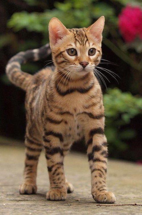 Pin Von Ia Auf Murr Katzen Katzenrassen Bengal Katzchen