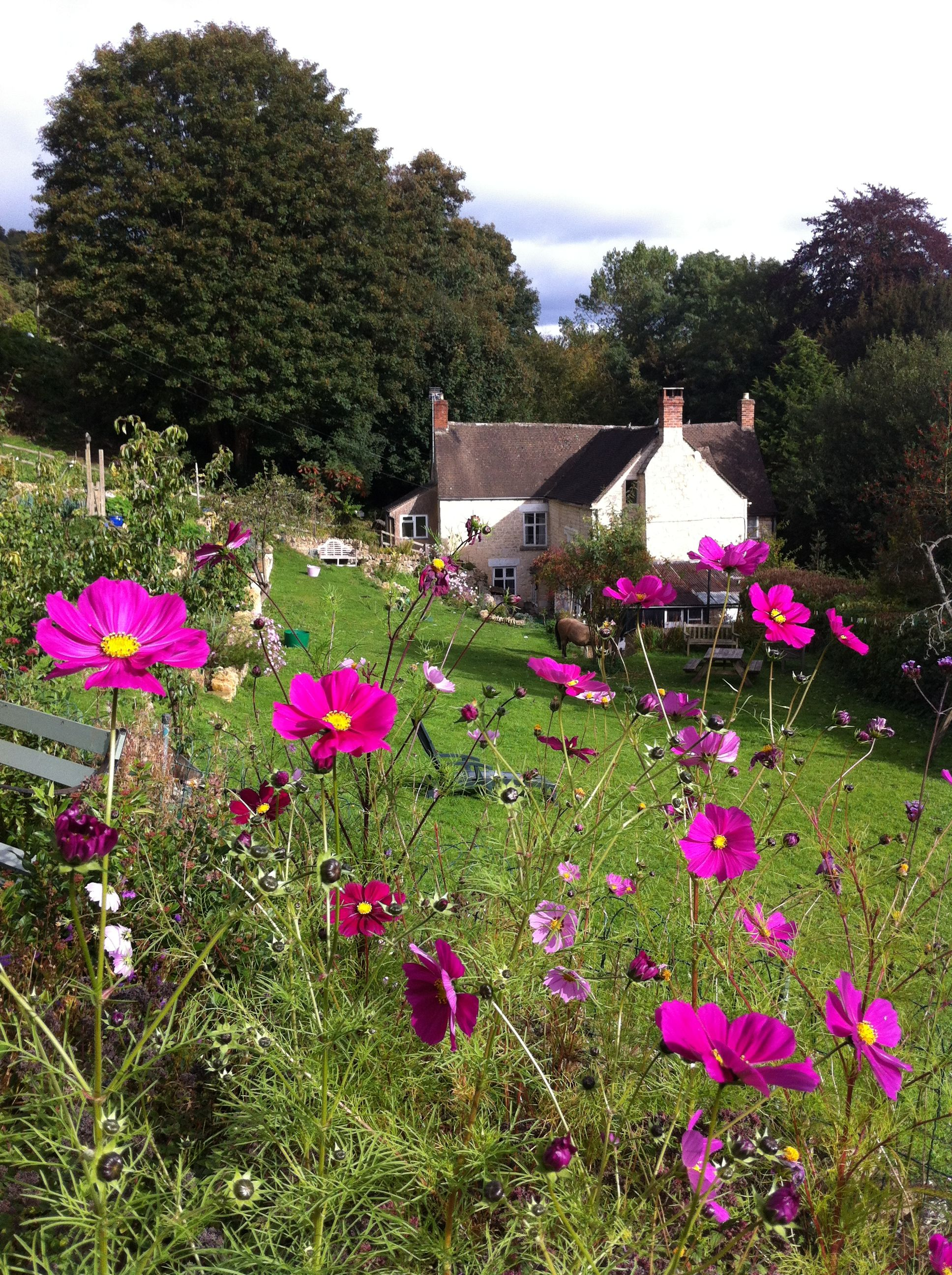 Cosmos keep flowering until the first frosts, keeping the garden bright and cheery!