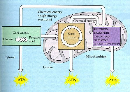 four parts of the relationship between atp and adp cycle