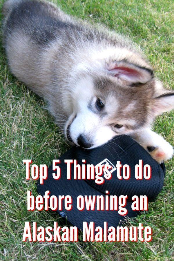 Top 5 Things To Do Before Owning An Alaskan Malamute Alaskan