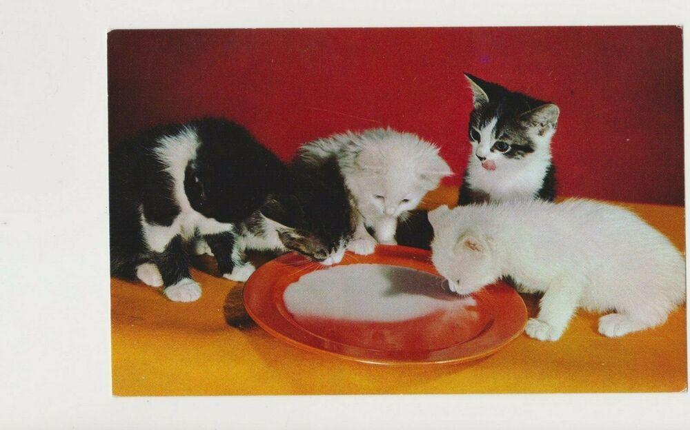 Cat Postcard Alfred Manzier Kittens Milk Drinking Bowl Vintage Mid Century 807 Vintage Postcards Grey Kitten Cat Art