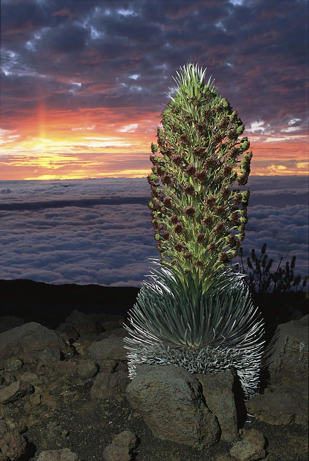 The rare Haleakala Silversword plant (Argyroxiphium sandwicense ssp. macrocephalum) in flower at Haleakala Crater, Maui, Hawaii.