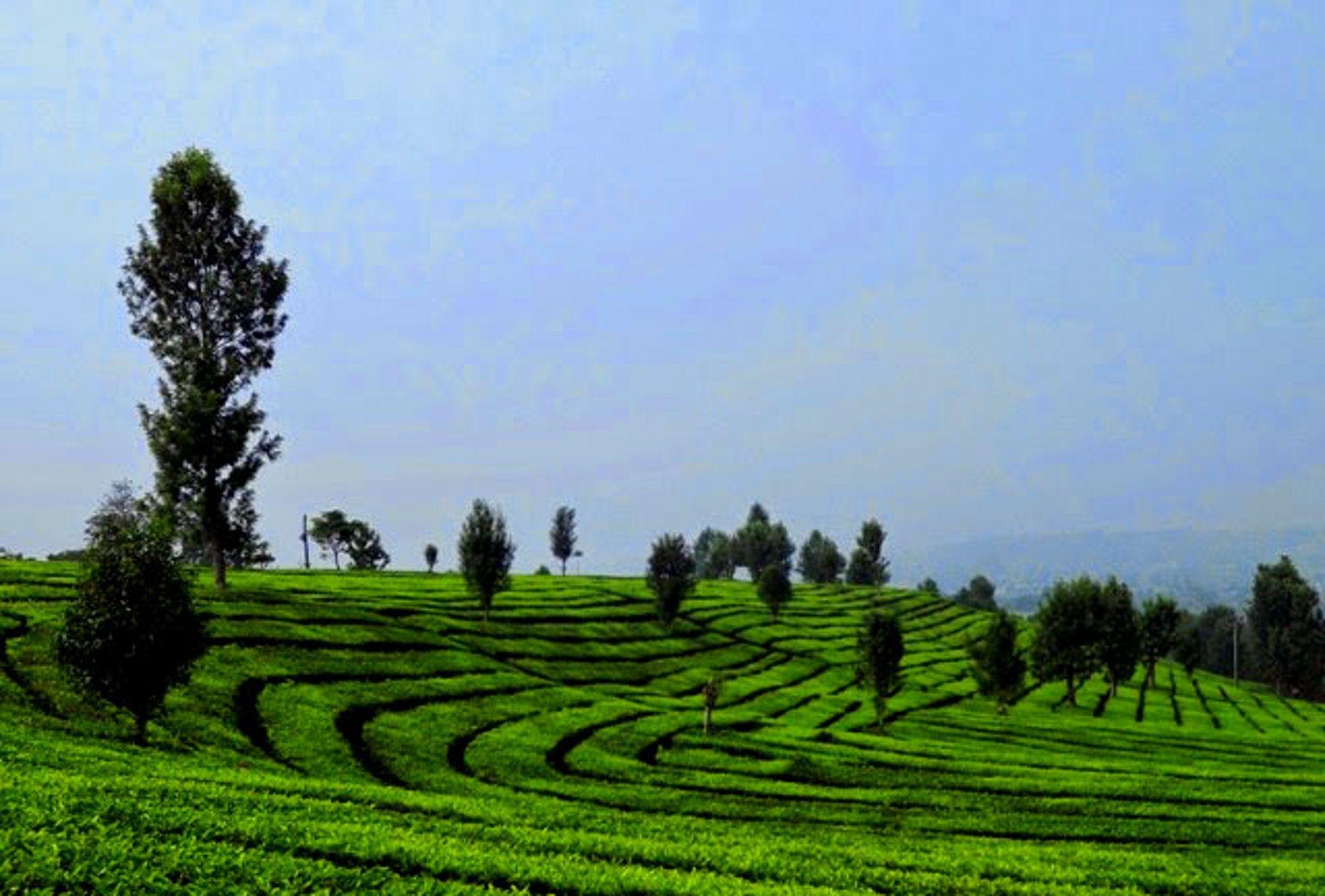 Gambar Kebun Teh Di Bandung