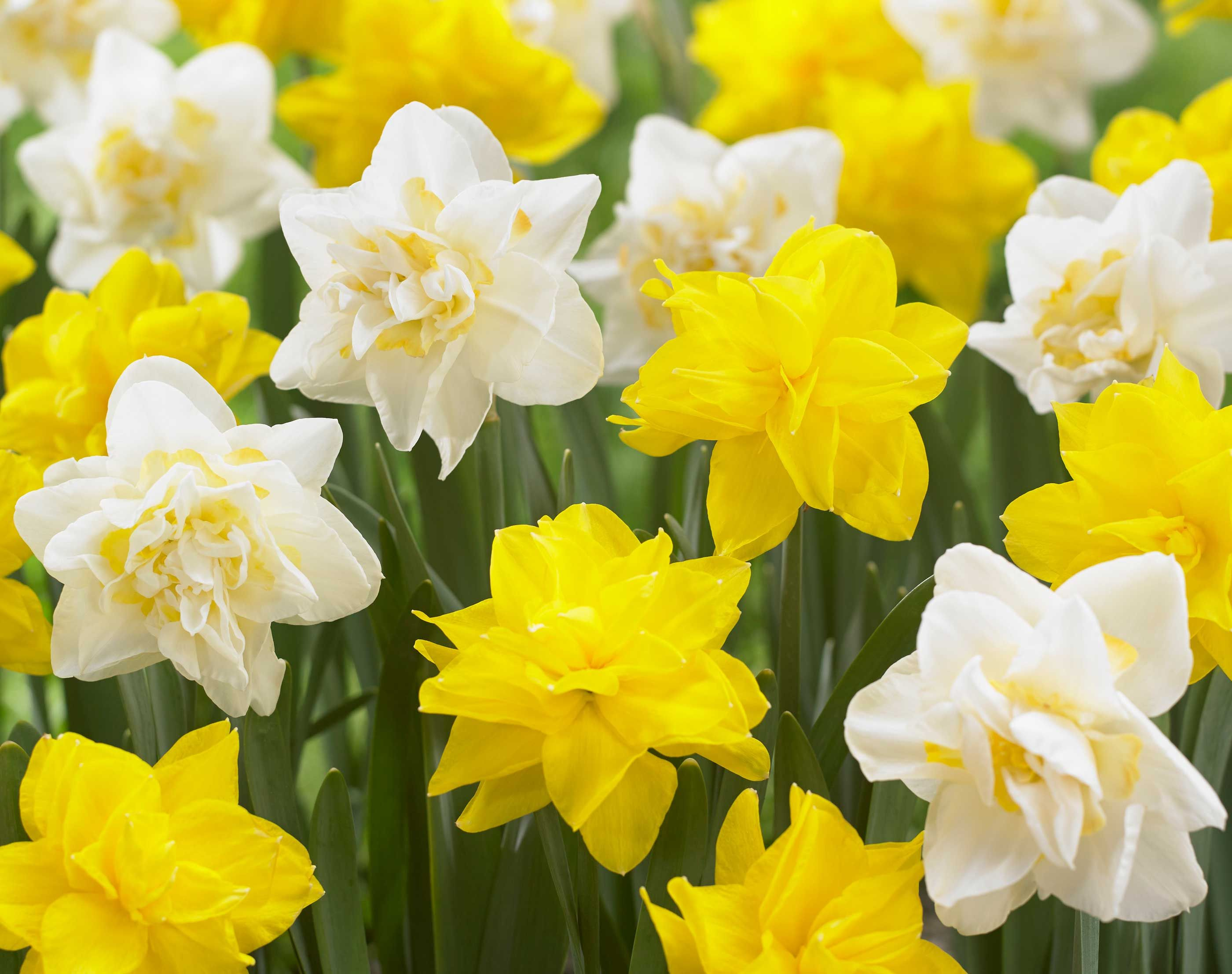 Discover The Beauty Of Double Daffodils Rose Like Flowers Daffodils Types Of Flowers