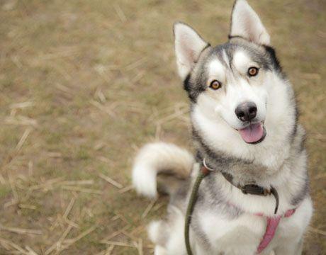 Siberian Husky Dog For Adoption In Harvard Il Adn 494849 On