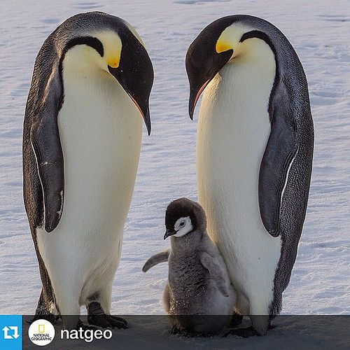 #Repost @natgeo with @repostapp.・・・Photograph by @paulnicklen for @natgeo while #onassignment in the Ross Sea for a story on Emperor Penguins.  A young emperor chick gets acquainted with its polar surroundings while both parents look on with great curiosi