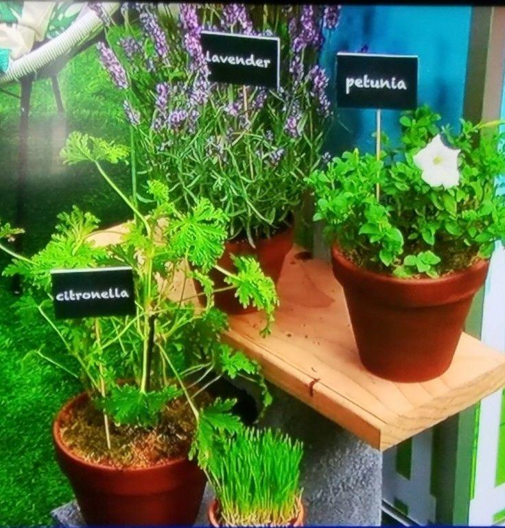 Backyard hacks Plant to deter bugs Catnip, Citronella