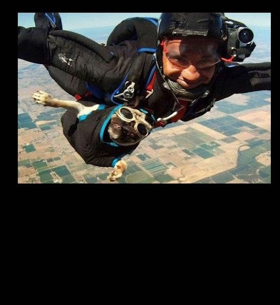 Skydive Funny Dog Pictures Pugs Funny Dogs