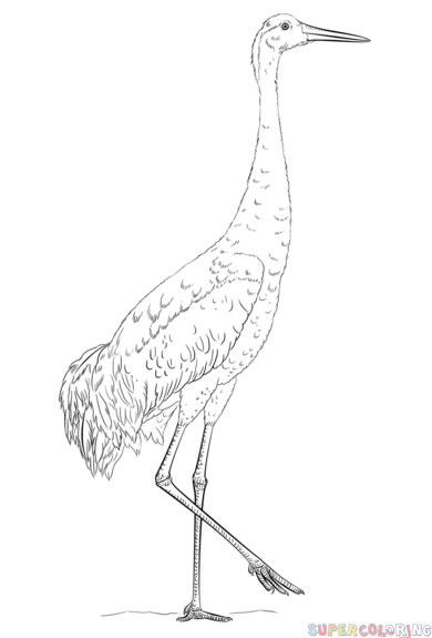 How to draw a sandhill crane | Step by step Drawing ...