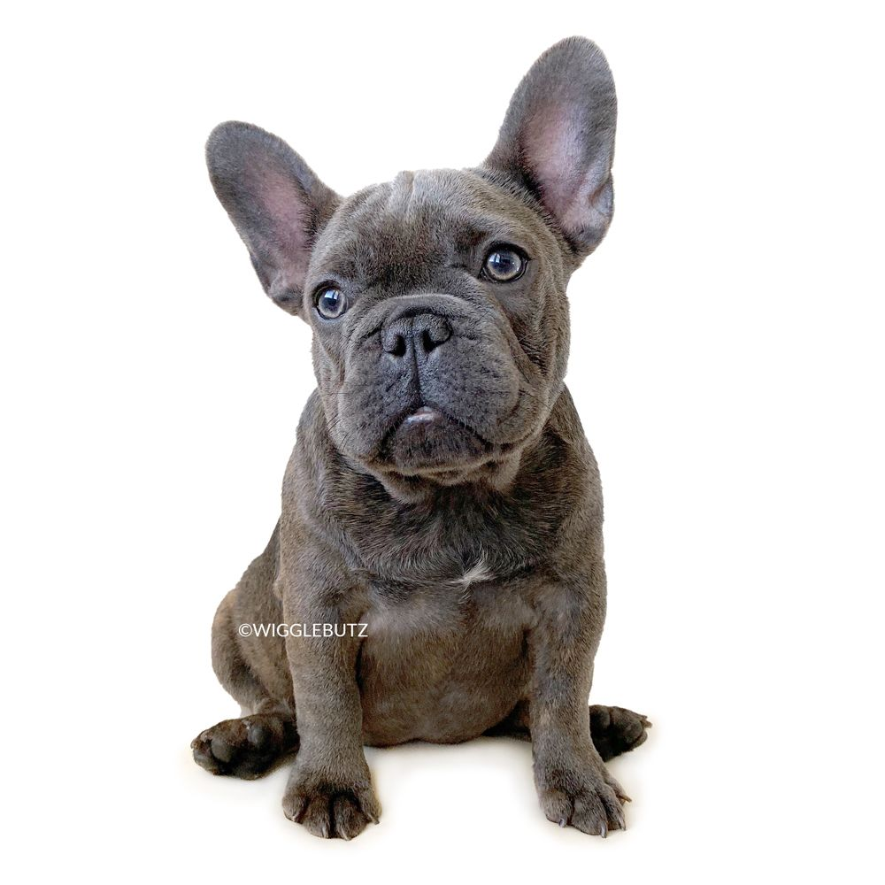 French Bulldog Puppies For Sale Bulldog Puppies Blue French