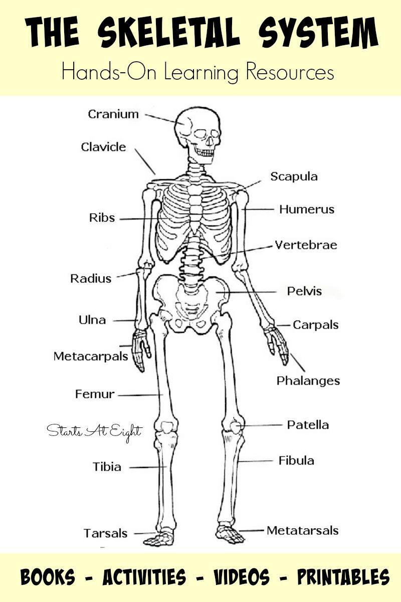 Image result for human skeleton printable worksheet