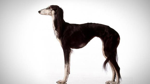 Saluki Or Gazelle Hound Dog Breed Selector Dog Breed