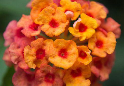 Medicinal Uses Of Lantana Camara Healing Herbs Medicinal Herbs Herbalism