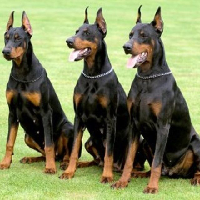 Warlock Doberman Pinscher Large Doberman They Are So Beautiful