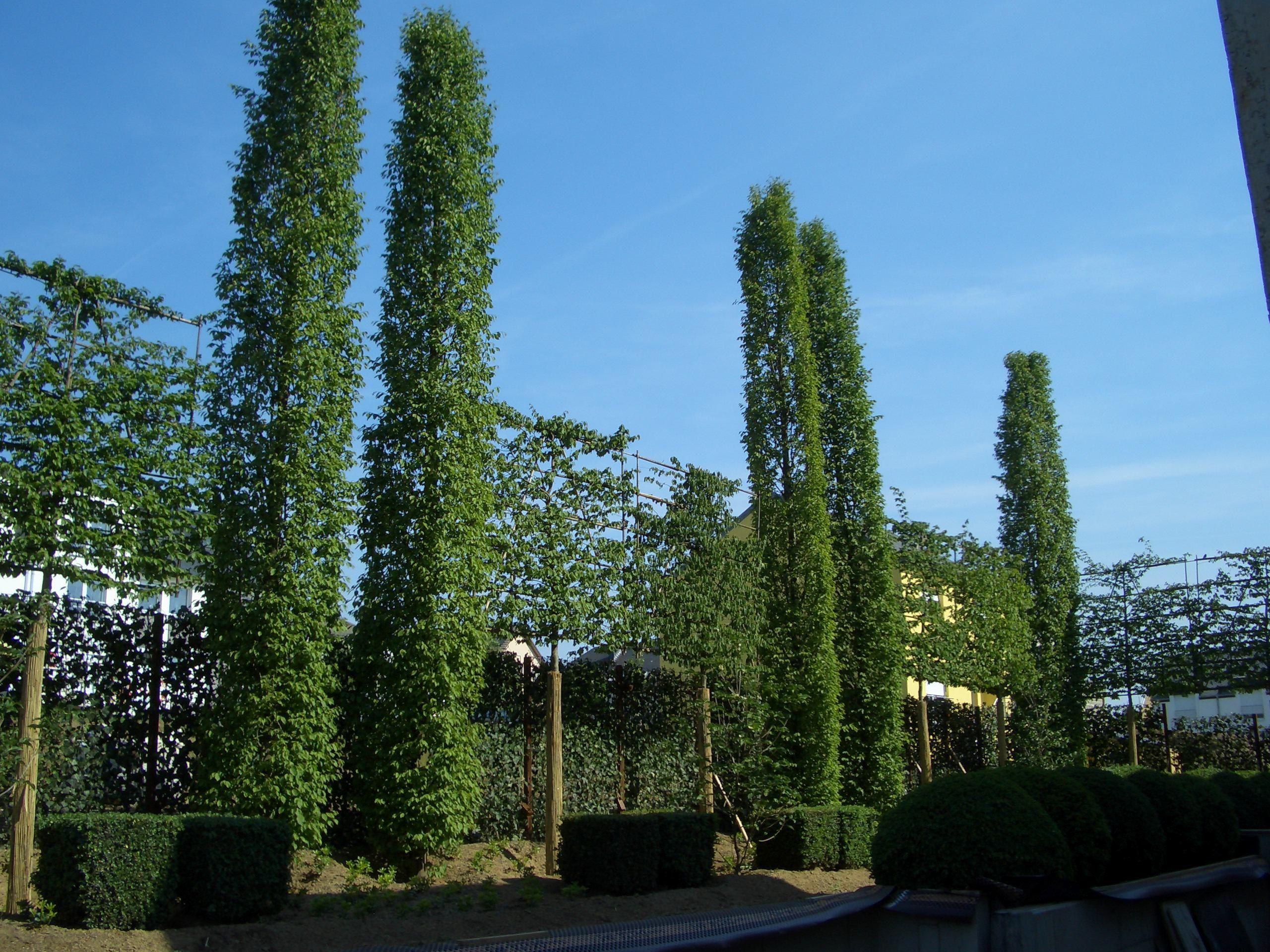 Spalierbäume schwebende Hecke Hof Pinterest
