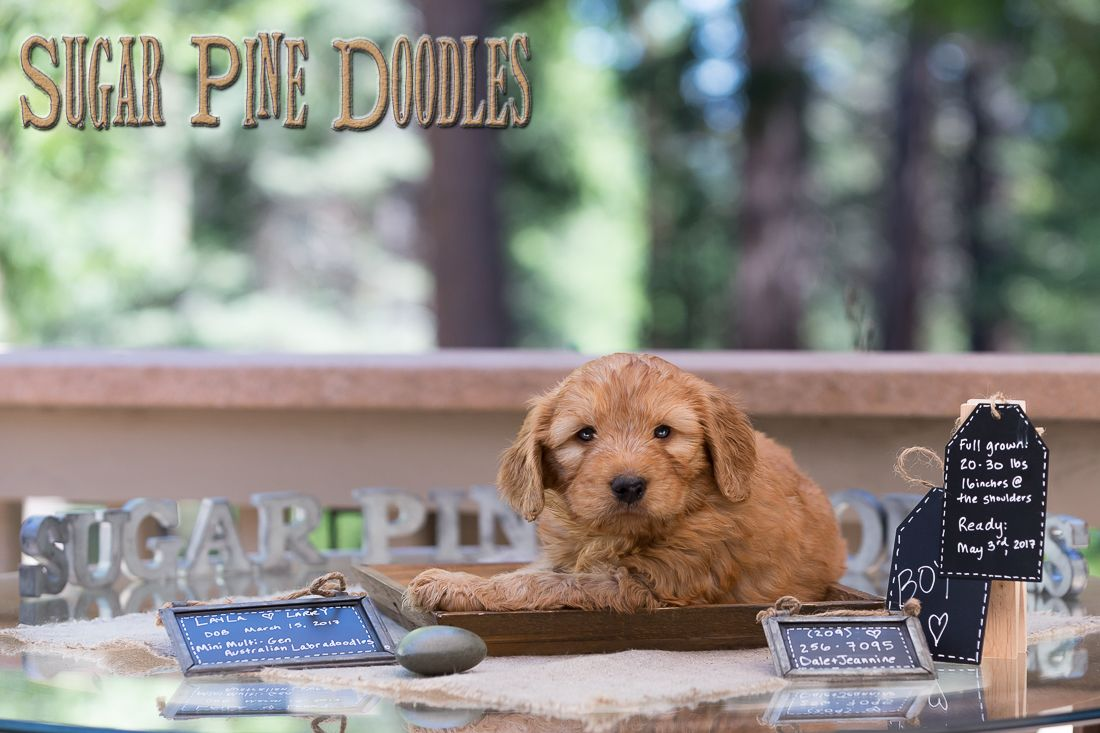 Available puppies sugar pine doodles australian