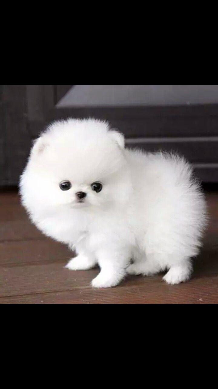 Pin By Kitani Hunter On Animales Pomeranian Puppy Teacup Pomeranian Puppy Pomeranian Puppy For Sale