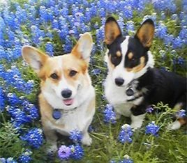 Ranchhand Corgis Home Bardwell Tx Texas Corgi Breeder Corgi Puppies For Sale Corgi Welsh Corgi