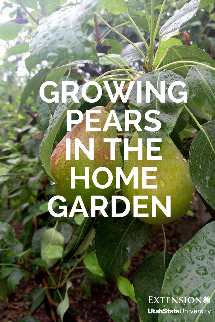 Learn How To Grow Delicious Pears In Your Own Backyard Gardening Pears Pear Fruit Trees Growing Fruit