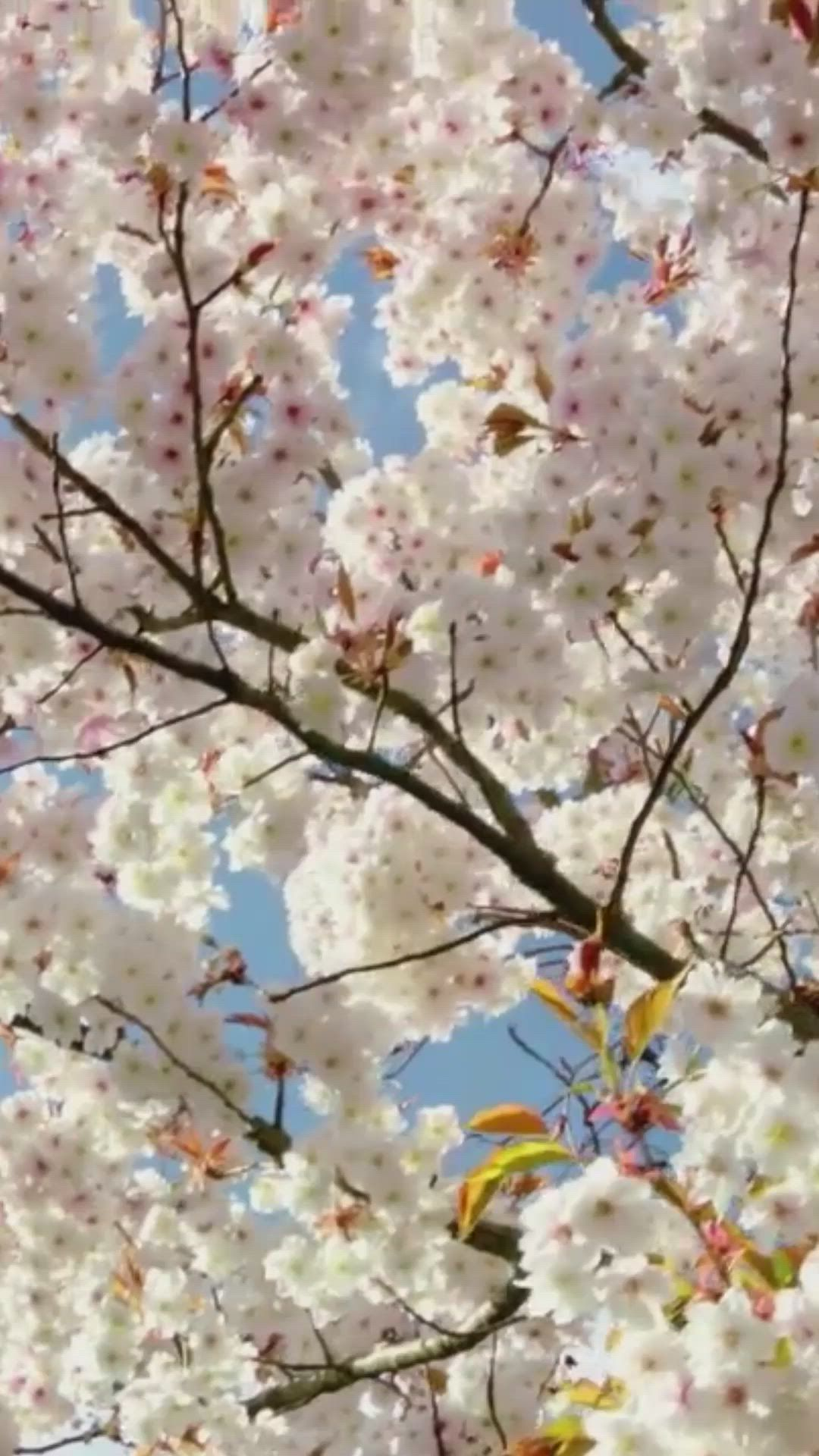 Cherry Blossoms Beautiful Spring 5620 Video Cherry Blossom Wallpaper Cherry Blossom Wallpaper Iphone Pastel Aesthetic