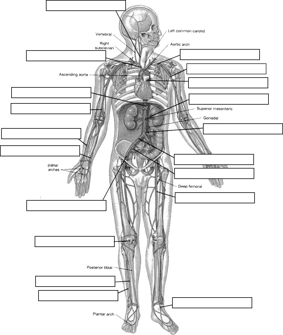 Worksheets Muscle Identification Worksheet pin by jackie sweet on anatomy physiology pinterest circulatory system labeling
