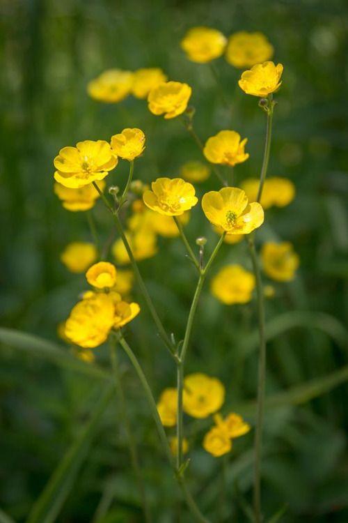 Reti Boglarka Ranunculus Acris Most Beautiful Flowers Buttercup Flower Wild Flowers