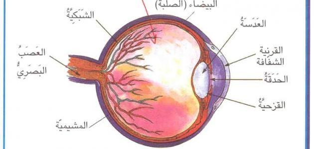 أجزاء العين ووظائفها Allah Brain
