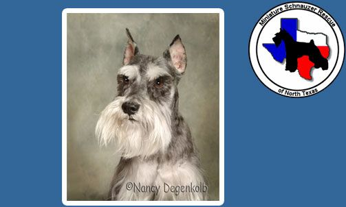 Adopt A Schnauzer Site In North Texas Dogs And Puppies Schnauzer Animals
