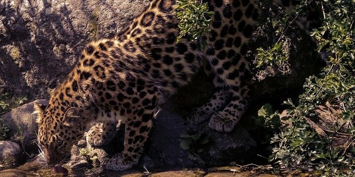Leopards, Wilpattu National Park, Sri Lanka, Asia