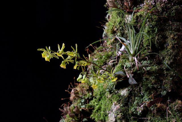 Platyrhiza quadricolor