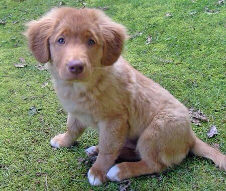Nova Scotia Duck Tolling Retriever Labrador Mix Retriever Dogs And Puppies Puppies