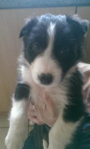 Robbie The Border Collie Is Full Of Love And Affection Border