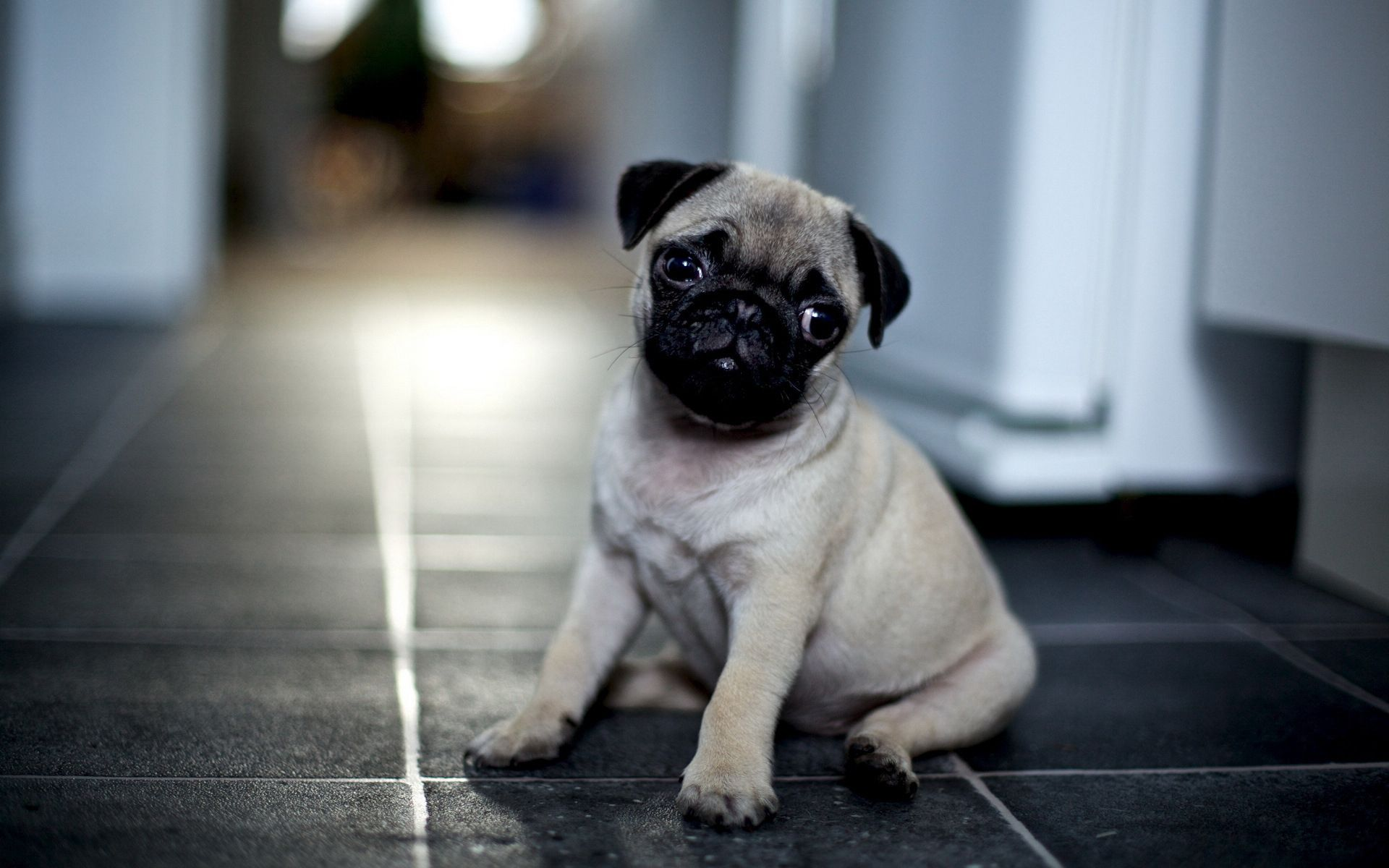 Cute Pug Puppy Wallpaper Screensaver Background Cute Pugs Pugs Baby Pugs