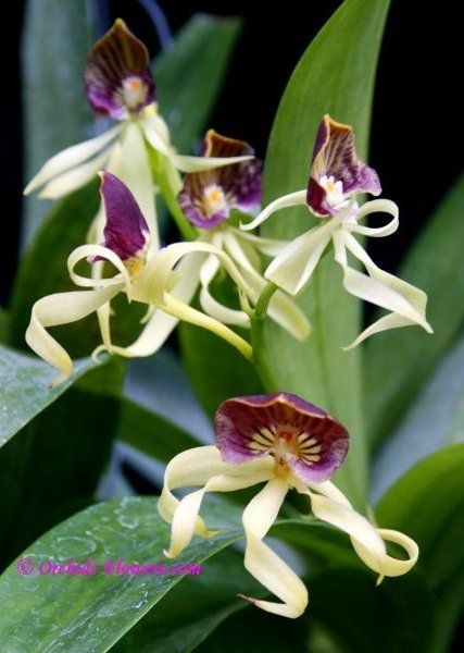 Prosthecea cochleata, formerly known as Encyclia cochleata, Anacheilium cochleatum and Epidendrum cochleatum and commonly referred to as the clamshell orchid. It is also the National Flower of Belize where it is known as the black orchid.