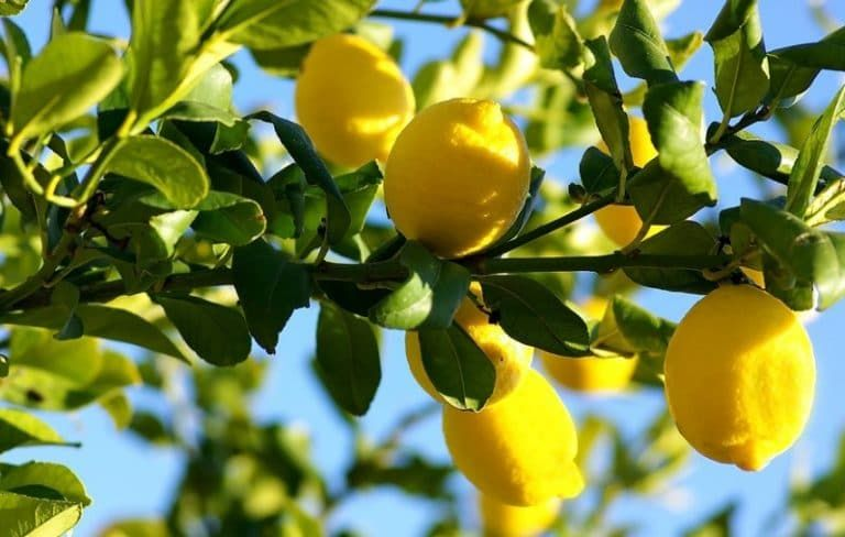 10 Best Fertilizer For Citrus Trees 2020 Reviews Guide Growing Lemons From Seeds Lemon Seeds Citrus Trees
