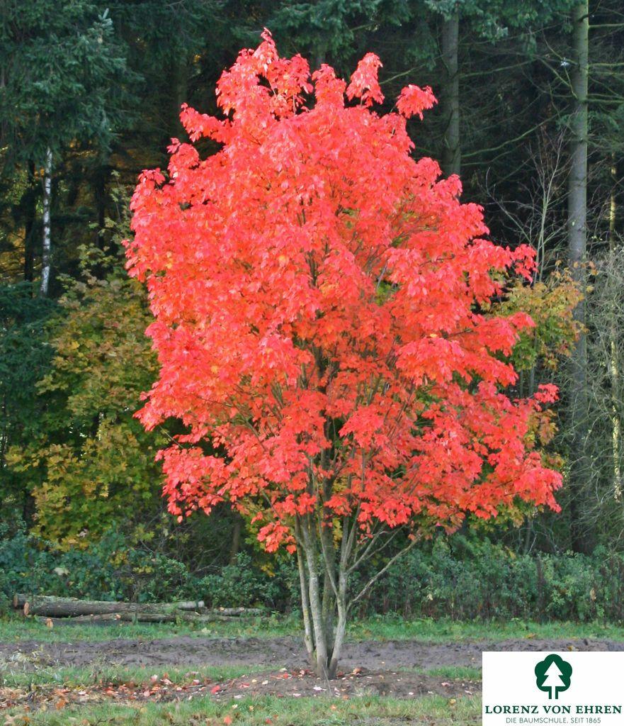 Acer Rubrum Baumschule Lorenz Von Ehren Baumschulen Seit 1865 Wir Lieben Baume Baum Des Jahres Roter Ahornbaum Japanischer Garten