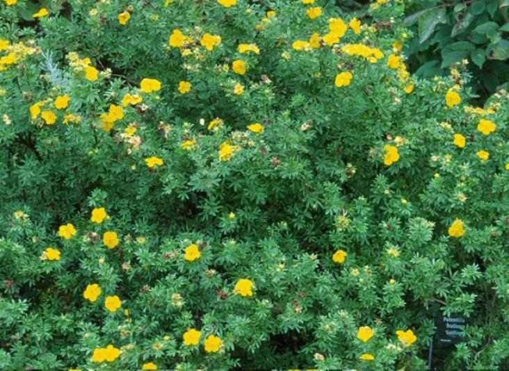 La Plantation De La Potentille Arbres Et Arbustes Arbuste