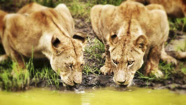 El parque Kruger -desde donde hoy escribo este post- es el mejor y más famoso de los más de 400 parques y reservas naturales con que cuenta Sudáfrica. Una extensión de bosque original del tamaño de la provincia de Cáceres en el que viven en libertad ejemplares de casi toda...