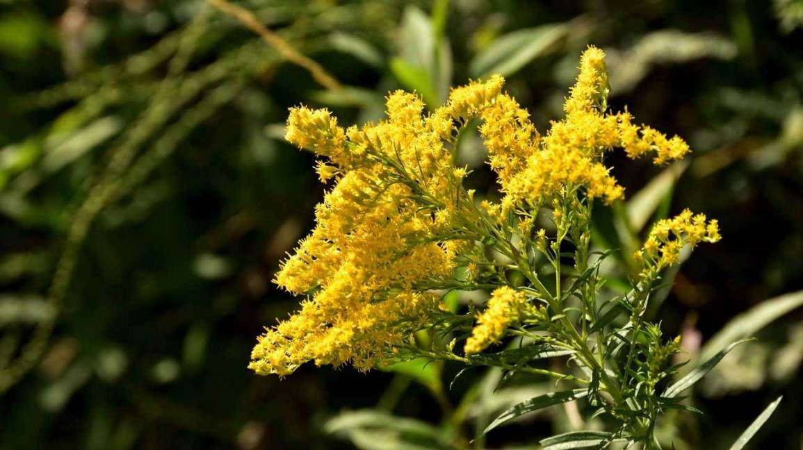 Goldenrod Benefits Dosage And Precautions Yellow Wildflowers Goldenrod Wild Flowers