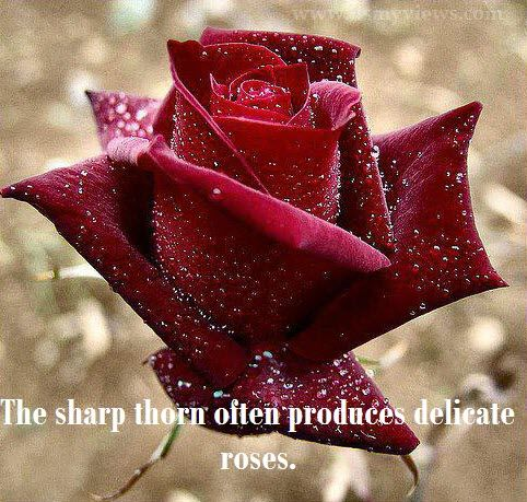 Beautiful Red Rose With Water Drops Quotes Picture 2013 Tattoos N