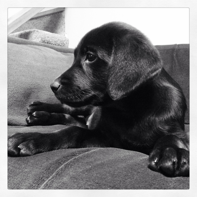 Beautiful Black Labrador Puppy 8 Weeks With Images Labrador Retriever Black Labrador Retriever Labrador Retriever Dog