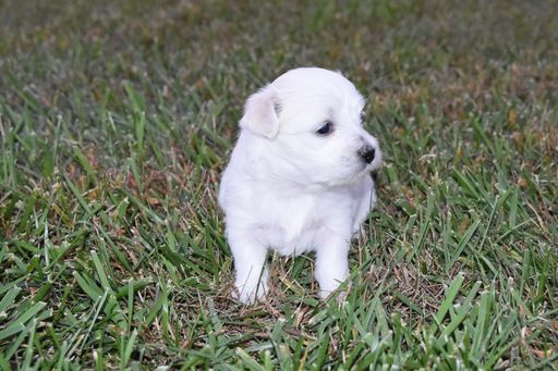 Coton De Tulear Puppy For Sale In Cincinnati Oh Adn 46961 On