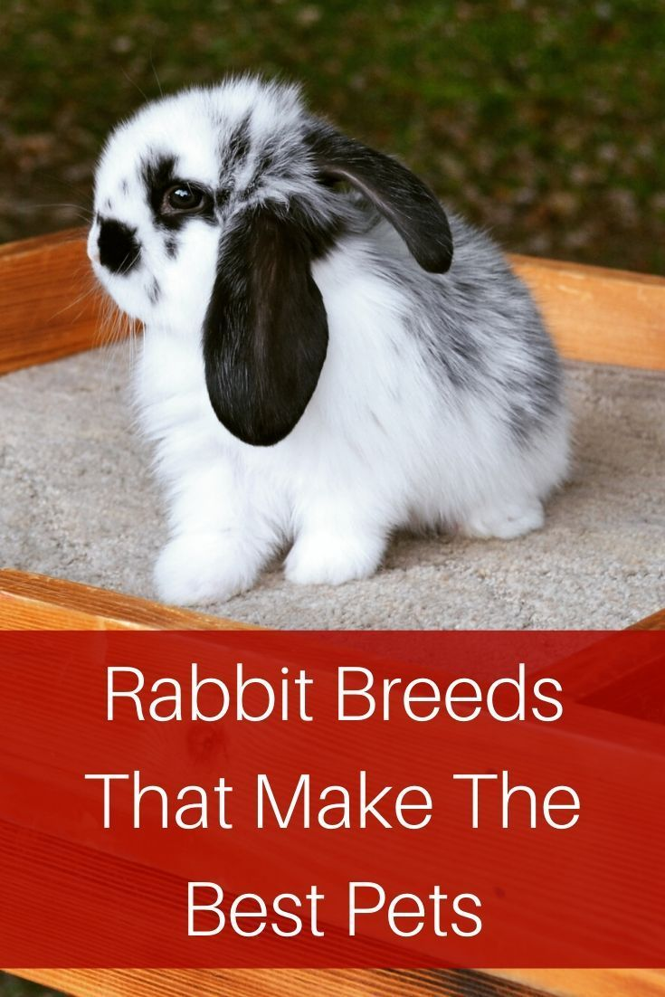 A list of the best rabbit breeds for pets. Tips to choose the friendliest breed rabbit so you have the best pet.
